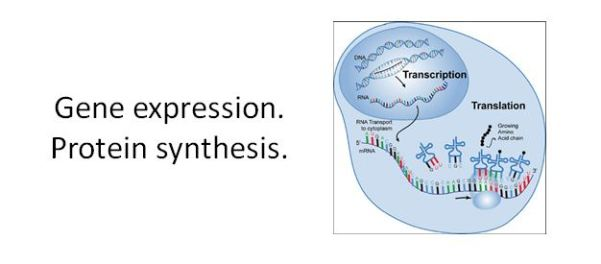 Gene expression Protein synthesis