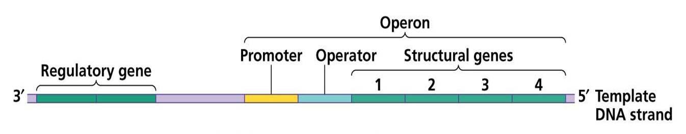 Organization of prokaryotic gene